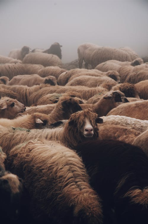 Close-up Photo of a Herd of Sheep