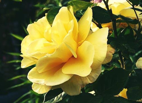 Ilmainen kuvapankkikuva tunnisteilla kasvikunta, kasvit, keltainen ruusu, keltaiset kukat