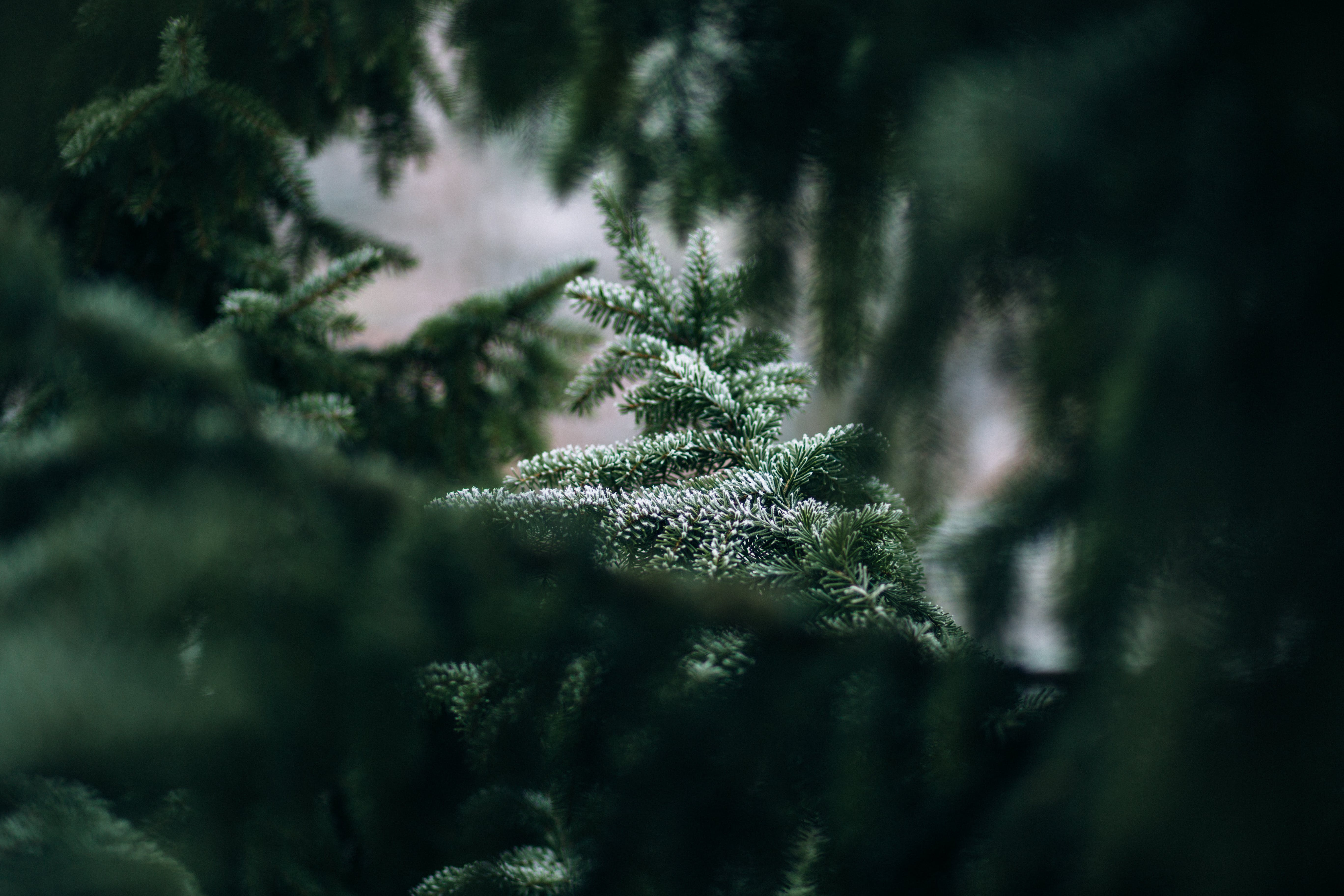 blur, branches, conifer
