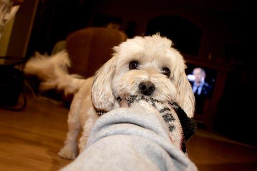 Δωρεάν στοκ φωτογραφιών με κουβέρτα, λευκό σκυλί, μικρός σκύλος, παιχνίδι σκύλου