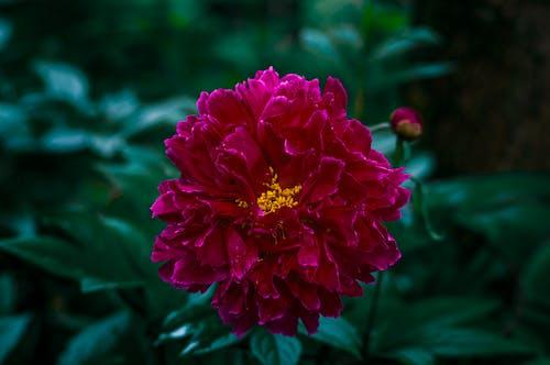 Fotos de stock gratuitas de flor roja flor, flor rosa, hermosa flor