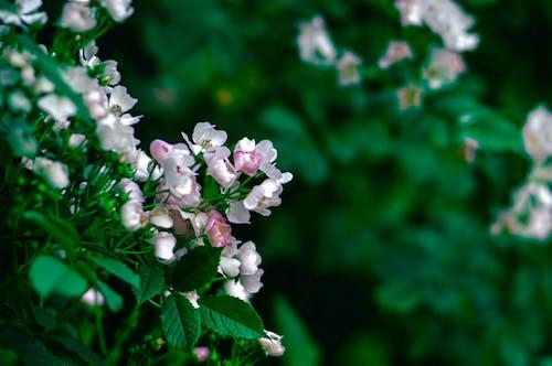 Fotos de stock gratuitas de belleza en la naturaleza, flor rosa, Flores de primavera, hermosa flor