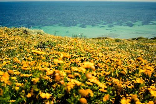 Foto profissional grátis de amarelo, flores, mar