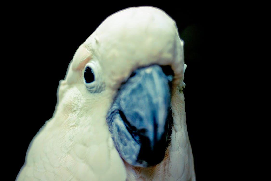 biela, čierna, papagáj