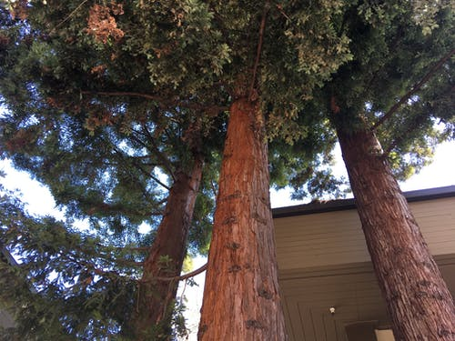 Free stock photo of pines