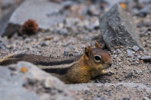 Kostenloses Stock Foto zu backenhörnchen