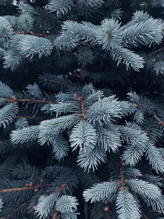 Shallow Focus Photography of Green Coniferous Tree