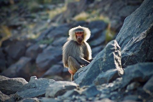 Fotos de stock gratuitas de babuino, fauna, fotografía de vida salvaje, montaña