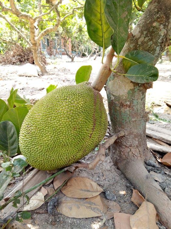 Bahçe, jackfruit, meyveler