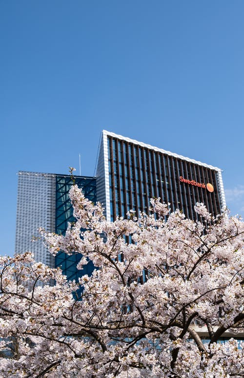 Low Angle Photo of Cherry Blossom In Front of a Swedbank High-rise Building