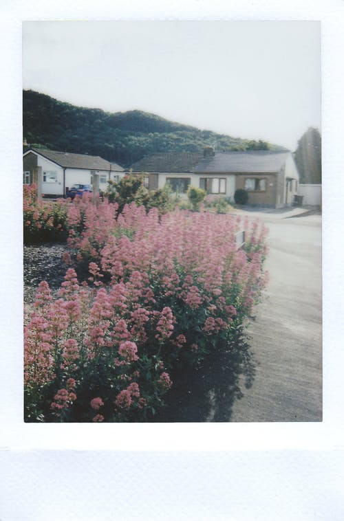 Pink Flowered Hedge Plants