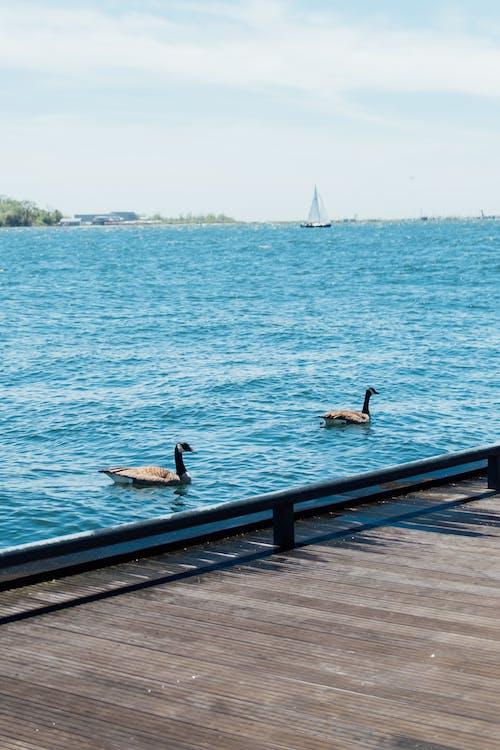 Foto stok gratis air, alam, burung air, cairan