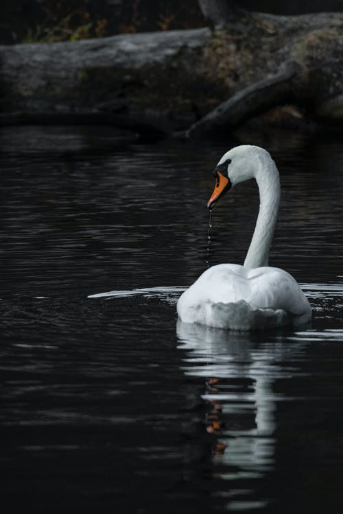 Shallow Focus Photo Of Swan On Body Of Water