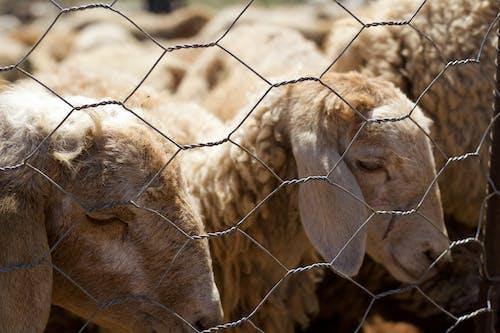 Fotobanka sbezplatnými fotkami na tému ovca