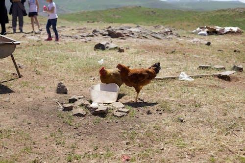 Fotobanka sbezplatnými fotkami na tému kurčatá