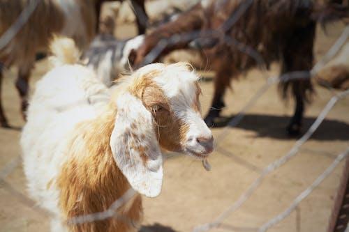 Fotobanka sbezplatnými fotkami na tému oddychové zviera, ovca