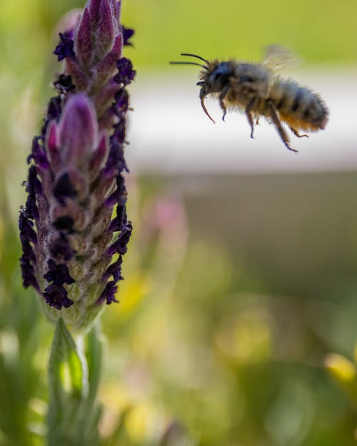 Free stock photo of bee, diversity, lavender, macro