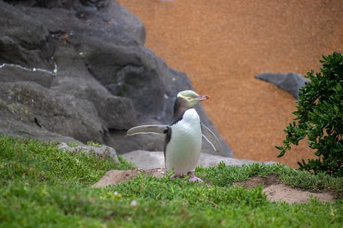 Free stock photo of penguin