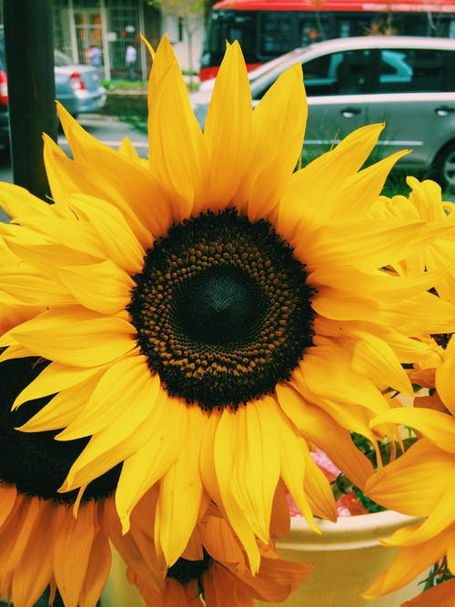 Free stock photo of sunflower