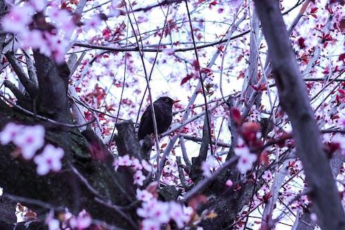 Gratis stockfoto met bloemen, boom, kersenbloesem, natuur