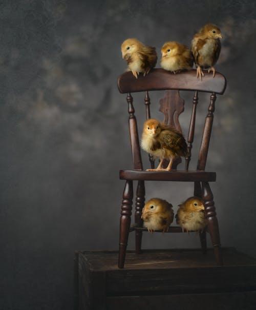 Gratis stockfoto met aviaire, beest, chicks, dierenfotografie
