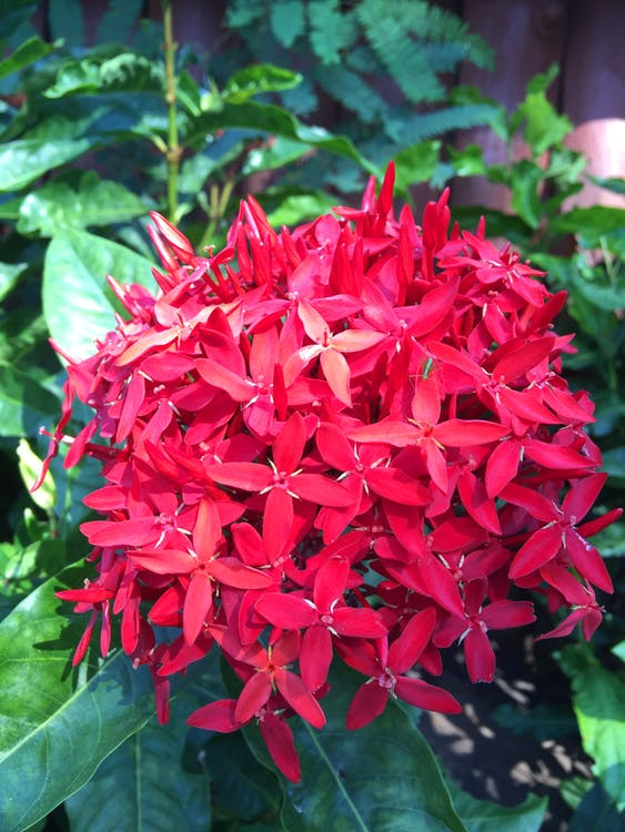 Free stock photo of flowers, ixora, nature
