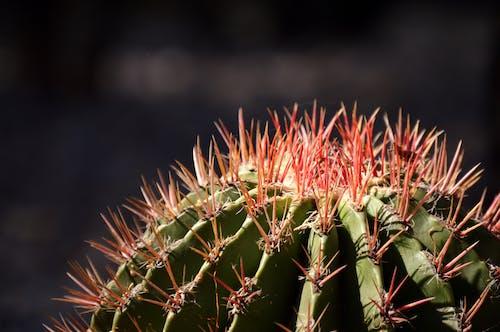 Darmowe zdjęcie z galerii z ciernie, kaktus, kolczasty, meksyk