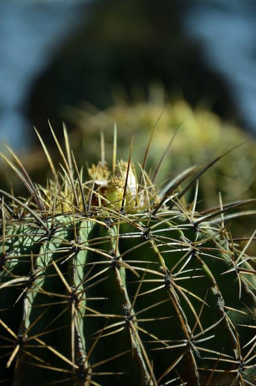 cactus, concentrarsi, crescita