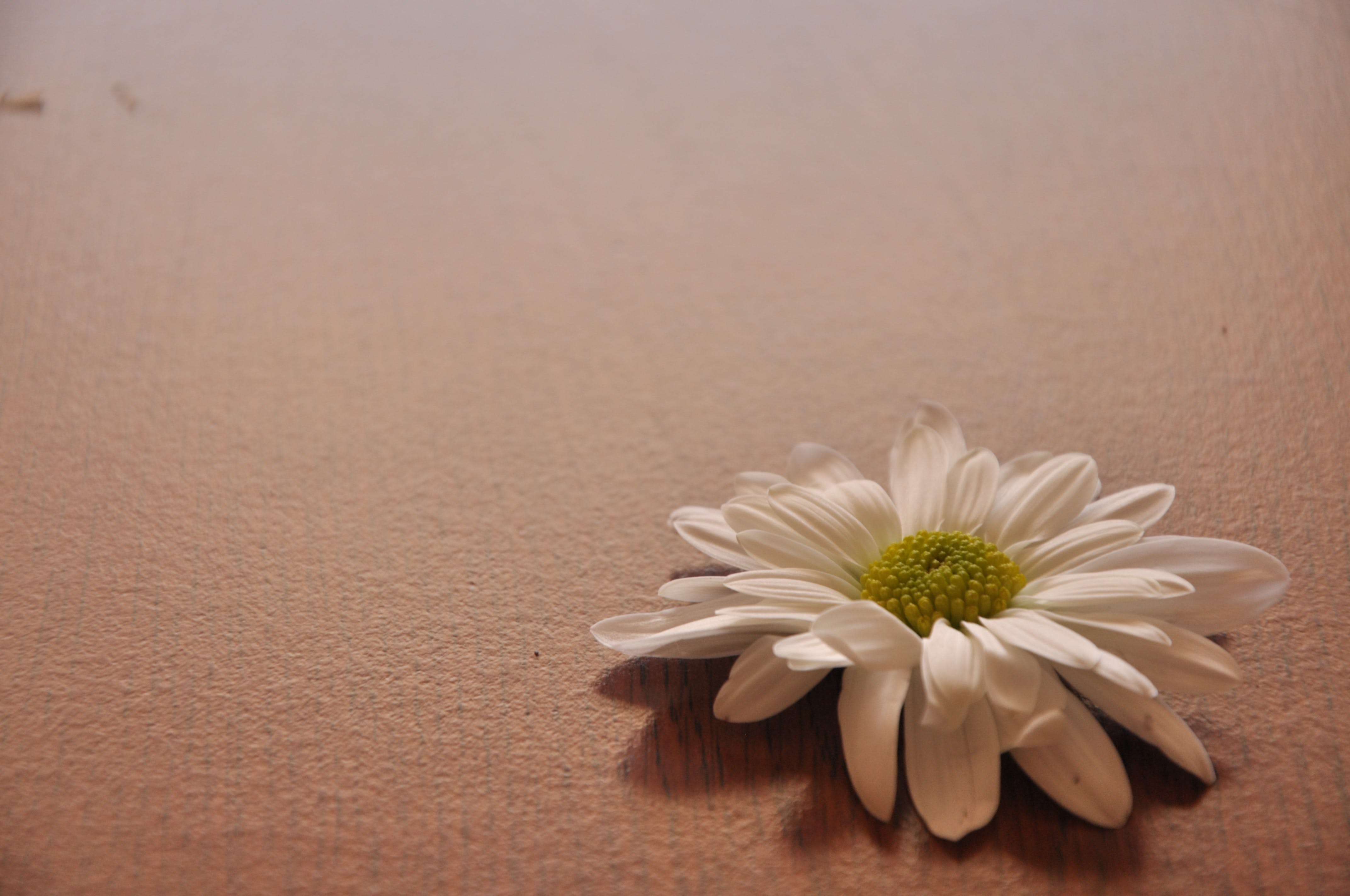 Close-up of Daisy Flower Against White Background