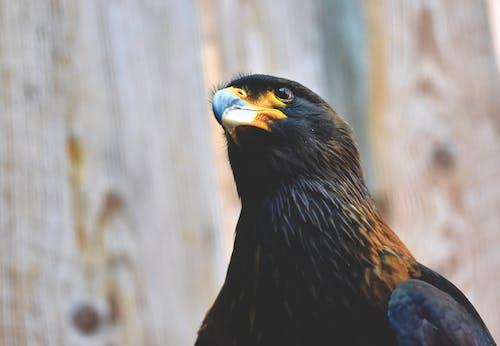 คลังภาพถ่ายฟรี ของ นก, นกล่าเหยื่อ, อีแร้ง