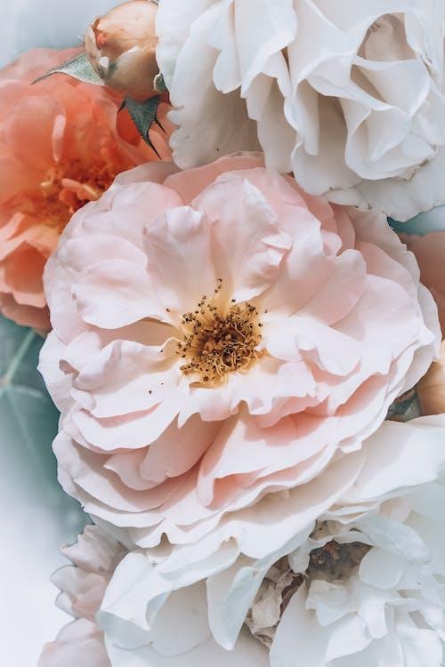Photos gratuites de magnifiques fleurs, rose éclose, roses, roses blanches