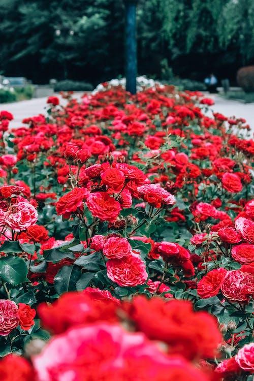 빨간 장미, 아름다운 꽃, 장미, 장미꽃의 무료 스톡 사진