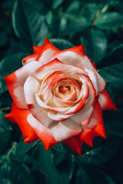 Photos gratuites de magnifiques fleurs, rose éclose, roses