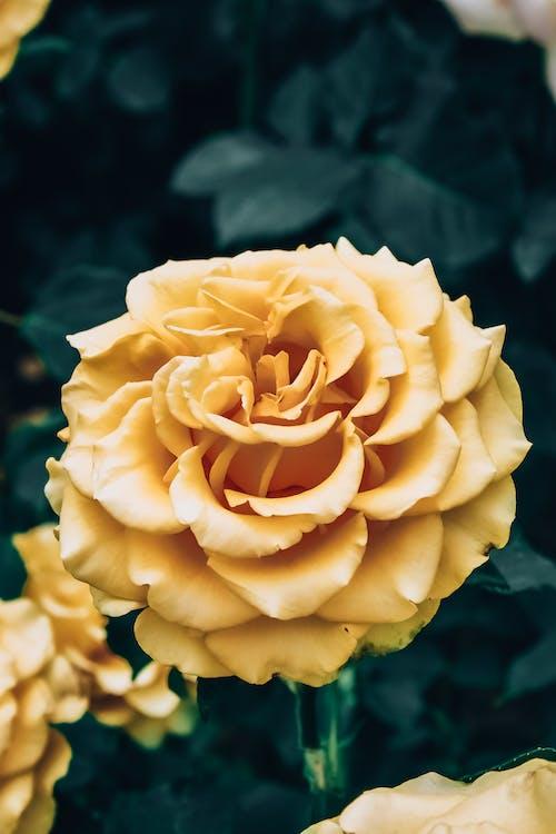 아름다운 꽃, 장미, 장미꽃
