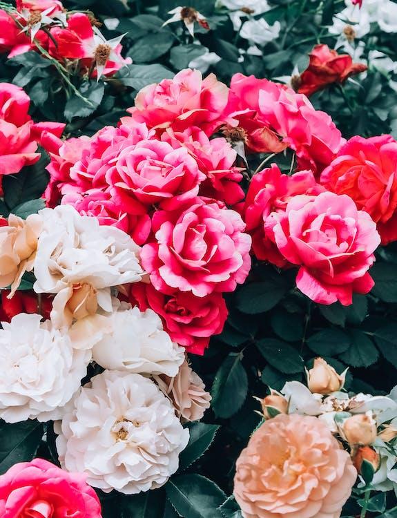 magnifiques fleurs, rose éclose, rose ouverte
