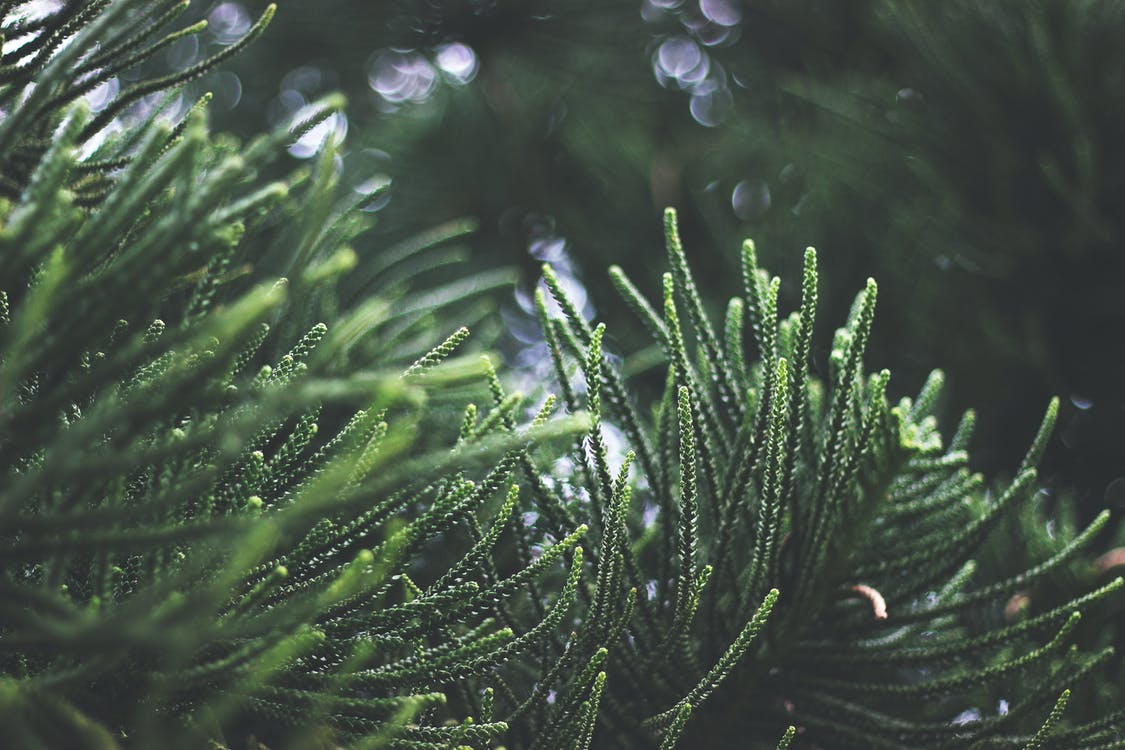 barrträd, dagsljus, fokus