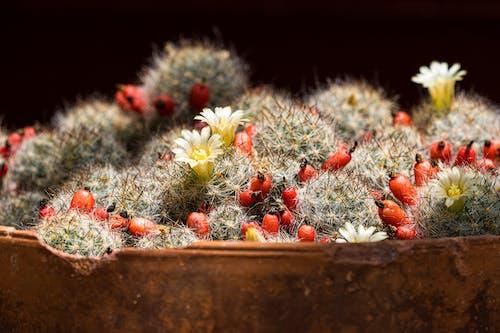 Darmowe zdjęcie z galerii z kaktus, kaktusy, konserwatorium, kwiaty