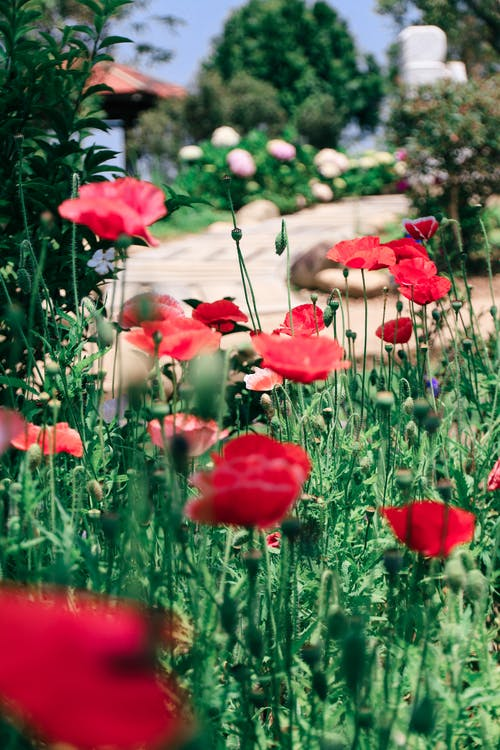 Selective Focus Photography of Red Poppy Flowers