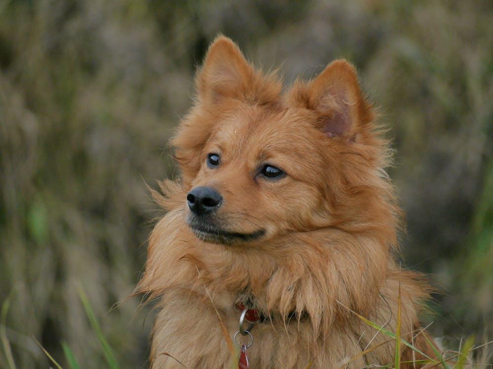 Kostnadsfri bild av djurporträtt, hund
