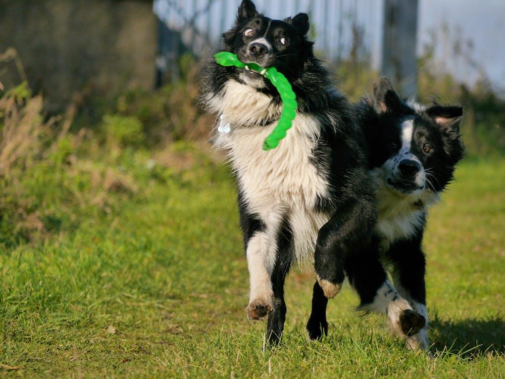 ボーダーコリー, 犬, 遊びますの無料の写真素材