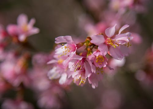 Foto profissional grátis de agbiopix, flor, pêssego
