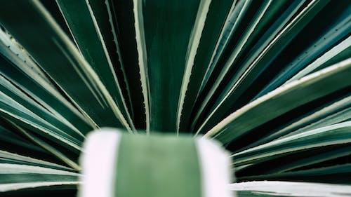 Ingyenes stockfotó 4k-háttérkép, Aloe vera, botanika, botanikus témában