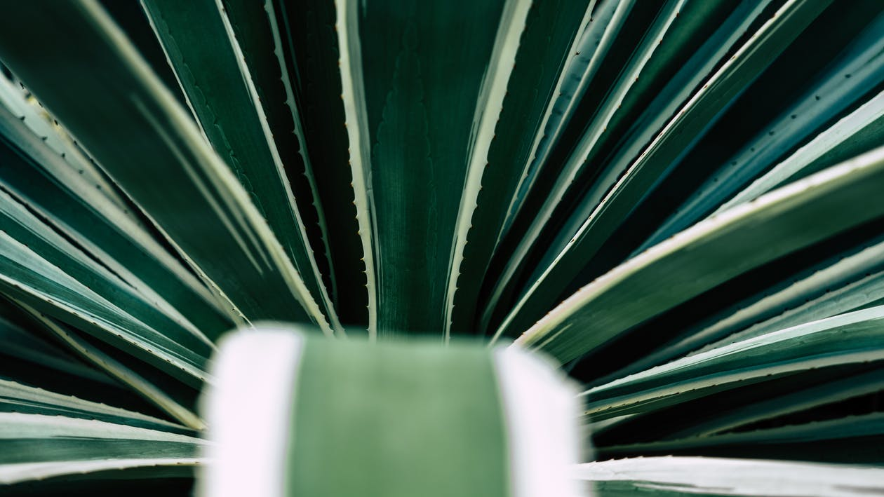 4k-baggrund, Aloe vera, blade