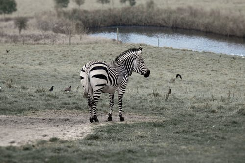 Zebra in Grass