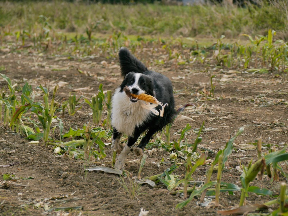 Gratis arkivbilde med border collie, hund, mais