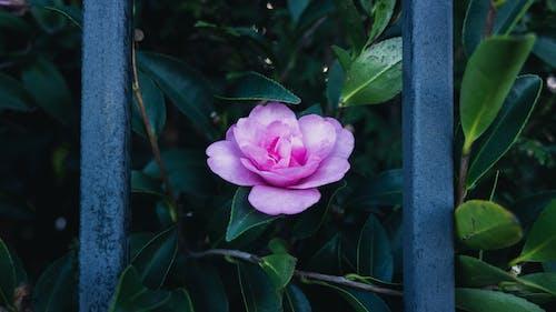 꽃, 나뭇잎, 바, 분홍색의 무료 스톡 사진