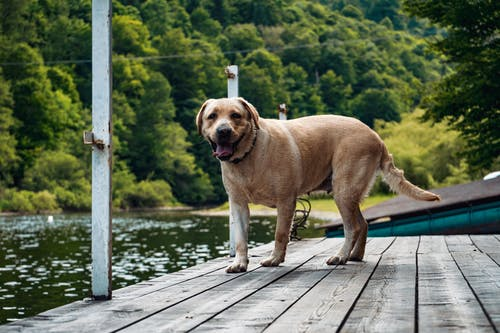 Adult Yellow Labrador Retriever On Focus Photography
