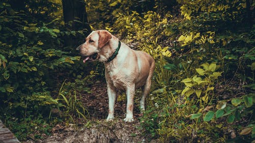 Adult Yellow Labrador Retriever Standing Near Plants during Day