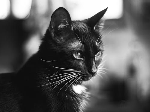 Free stock photo of 50mm, banco y negro, bokeh, cat face