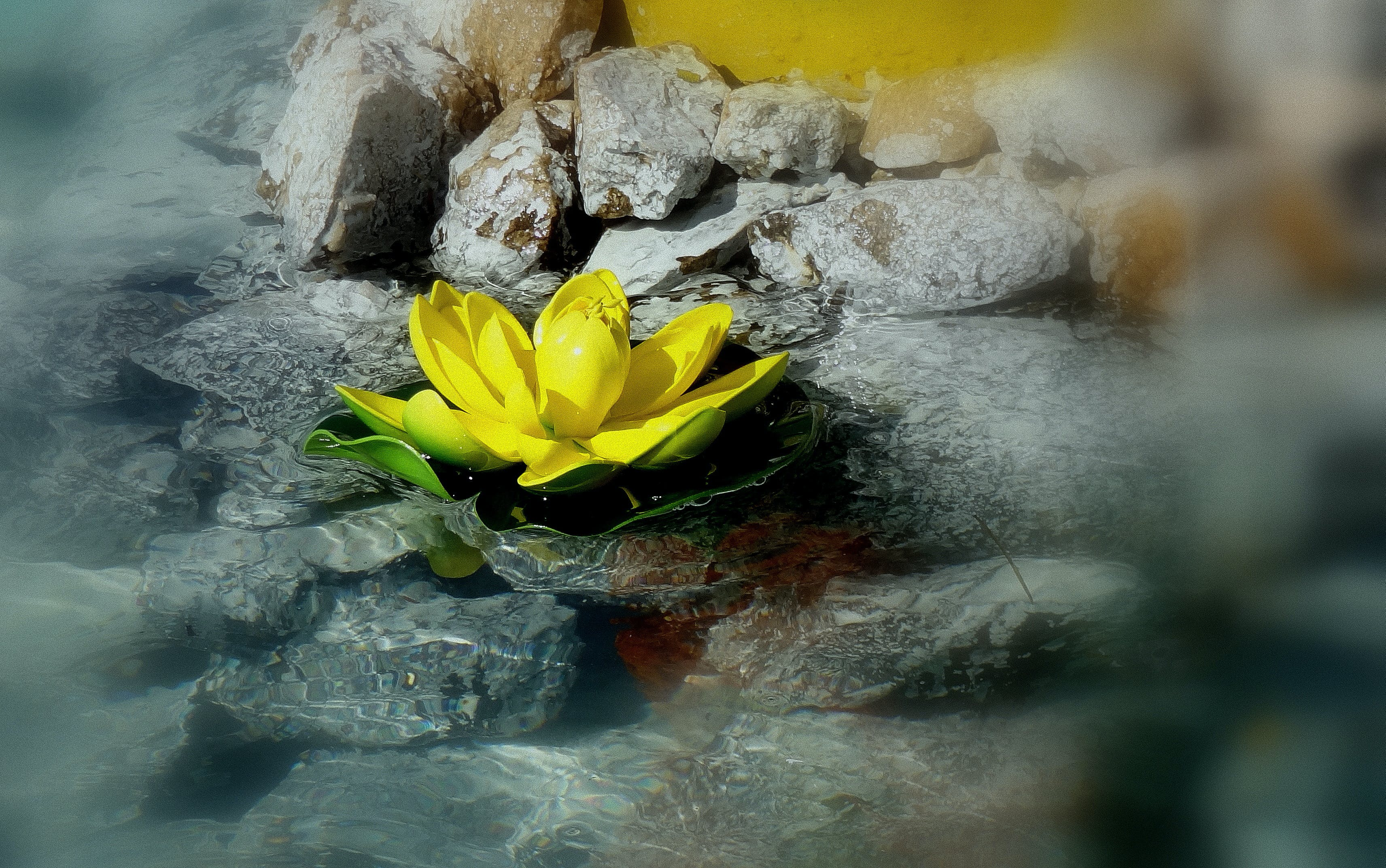 Close-up of Yellow Lotus in Water
